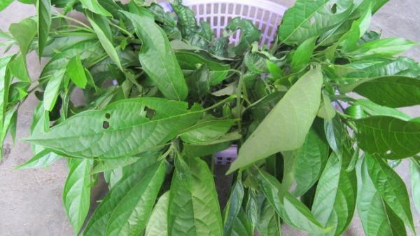 Clerodendrum cyrtophyllum (Vietnamese: rau đắng cảy, or bọ mẩy)