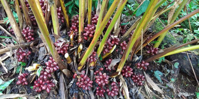 Lanxangia tsaoko plant