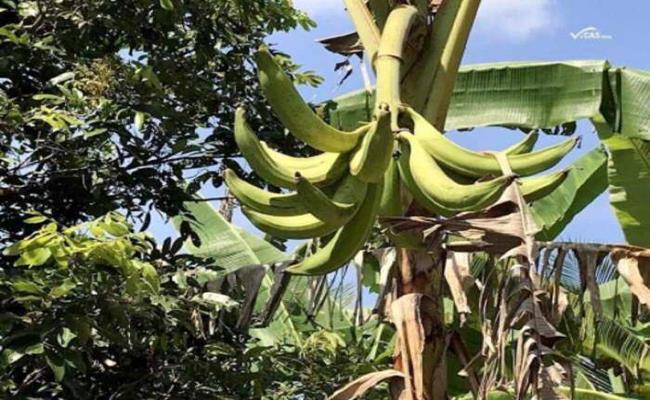 Ta qua banana