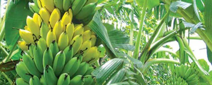 Vietnamese chuoi su banana