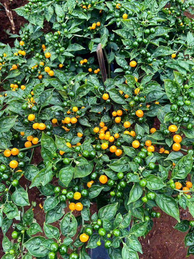 charapita chilli in Vietnam