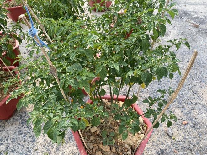 charapita pepper as bonsai