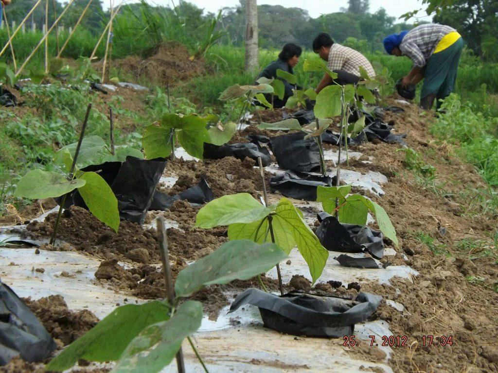 Planting Pueraria mirifica