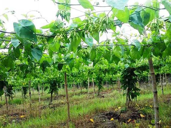 tonkin jasmine farm
