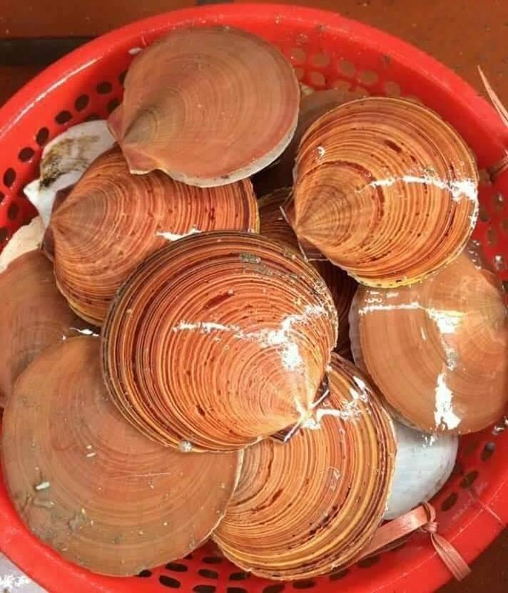 Asian moon scallops in Vietnam (Amusium pleuronectes)