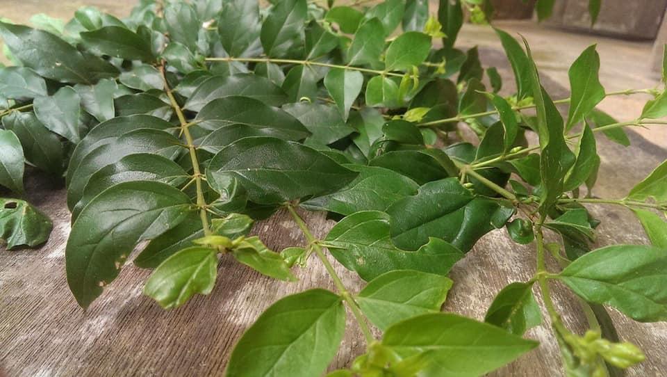 Catunaregam tomentosa leaves