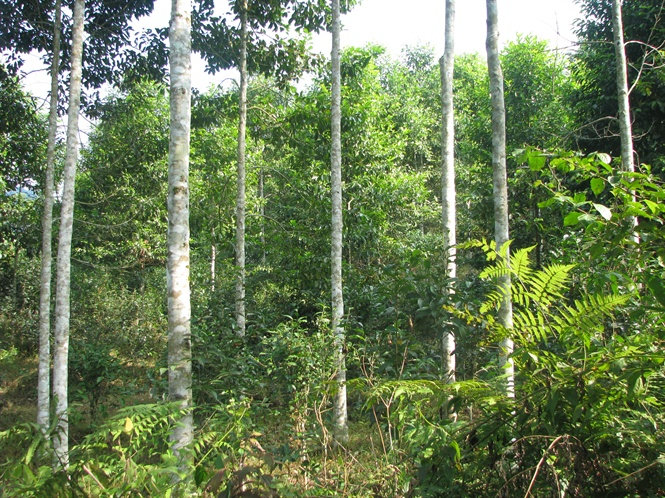 Michelia tonkinensis woods in Phu Tho province