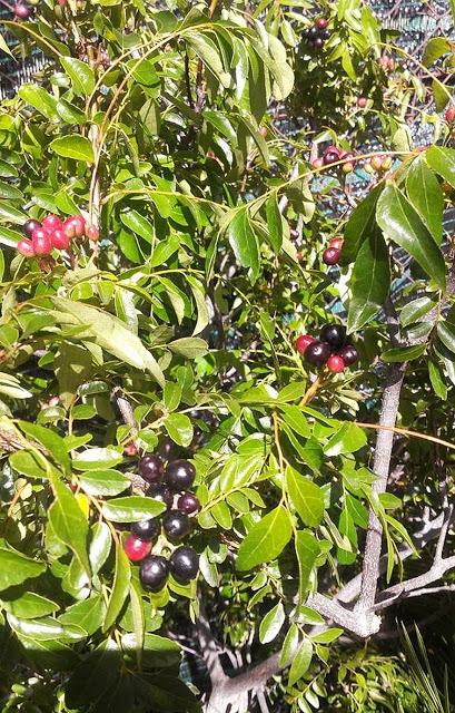 Murraya koenigii - curry tree