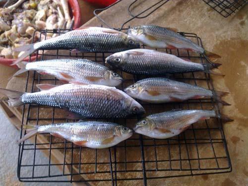Shovel-jaw carps in Binh Dinh