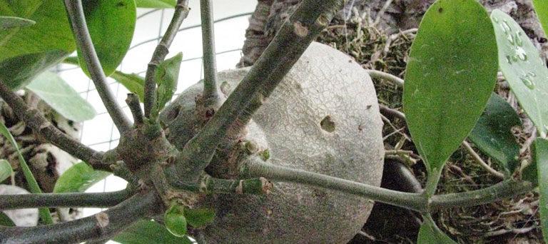 Vietnamese ant plant Hydnophytum formicarum