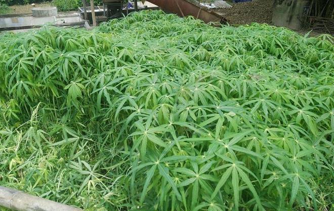 a garden of cassava plant (Manihot esculenta)