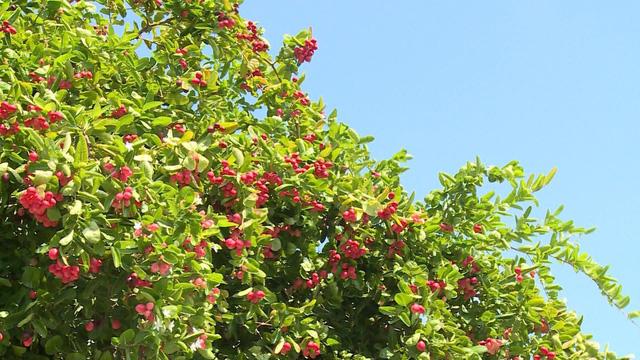 carandas plum trees