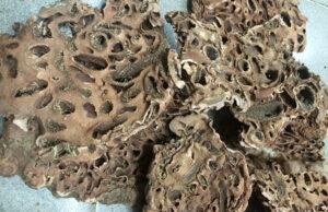 dried ant plant rhizome