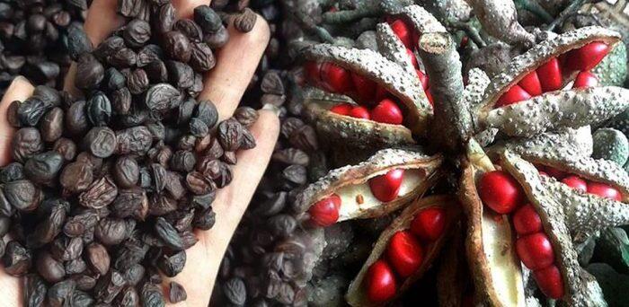 gioi seeds