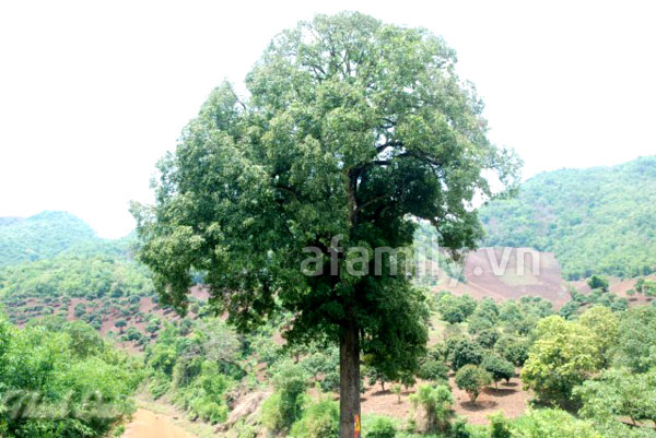 mac trai mango tree