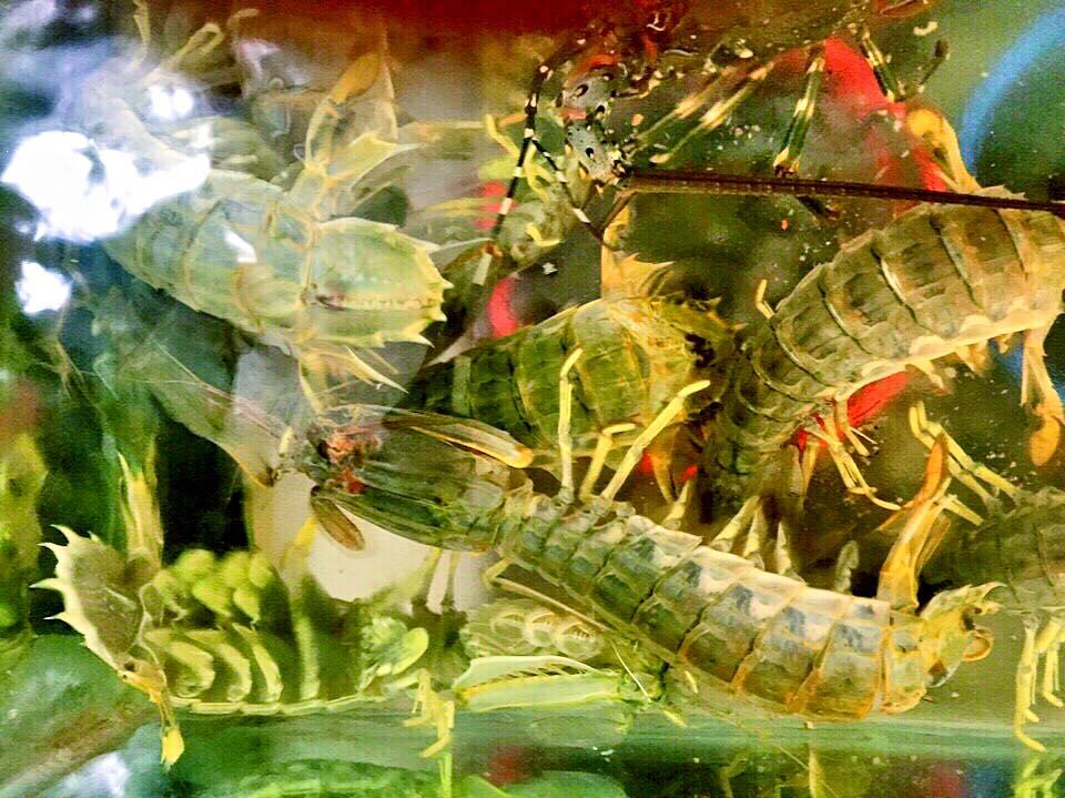 mantis shrimps in a seafood restaurant aquarium