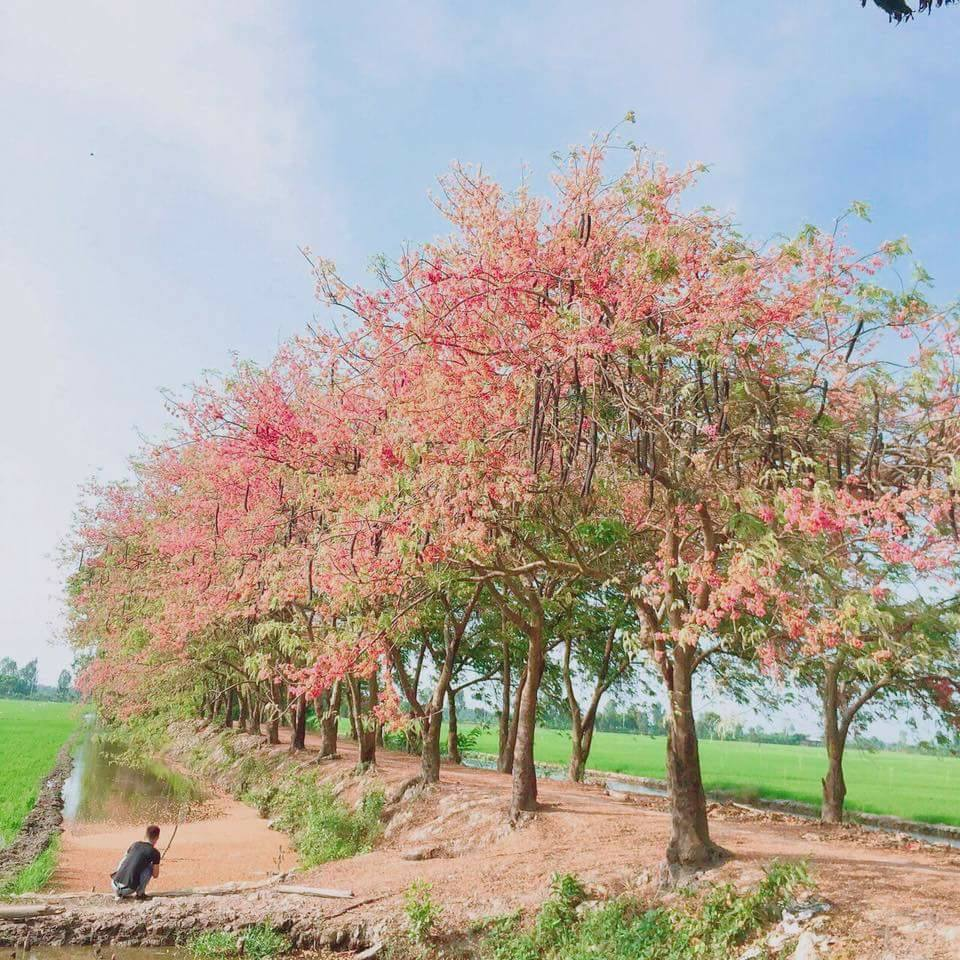 A road with blooming Cassia grandis trees