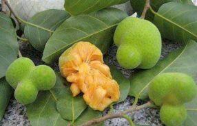 Artocarpus lacucha