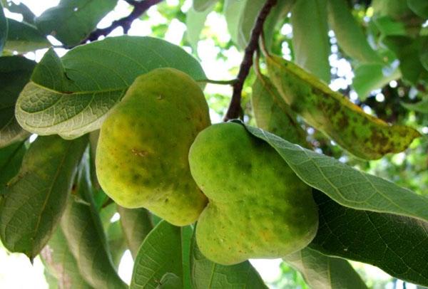 Artocarpus lacucha fruits