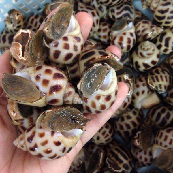 Babylonia areolata - spotted babylon snails - oc huong