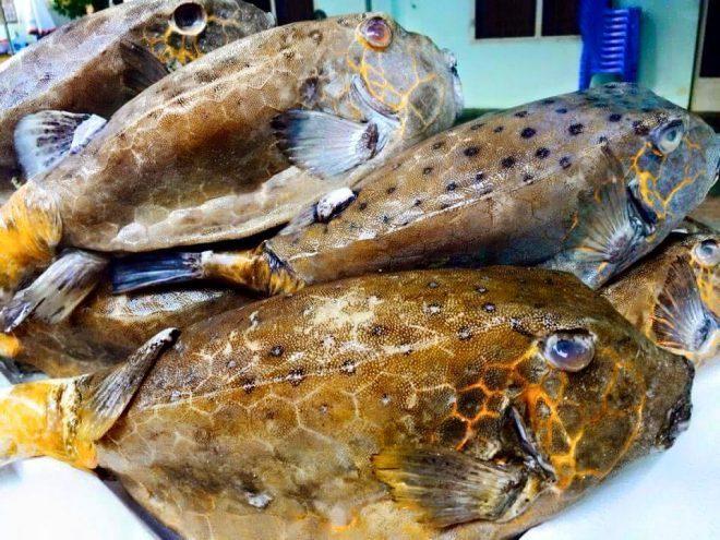 Bluespotted boxfish - Ostracion immaculatus