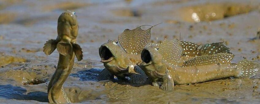 Boleophthalmus pectinirostris fish