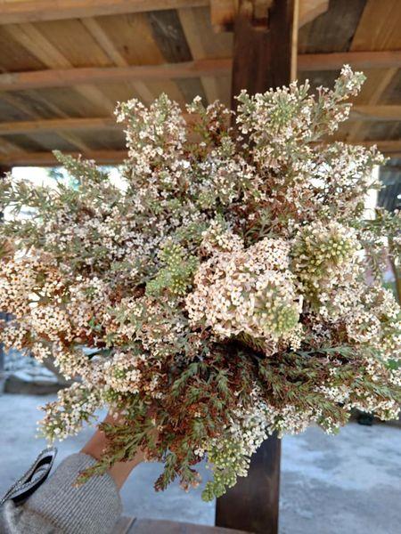 Buddleja officinalis flowers