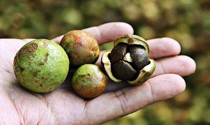 Camellia oleifera seeds