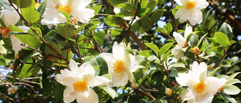 Camellia oleifera - tea oil camellia
