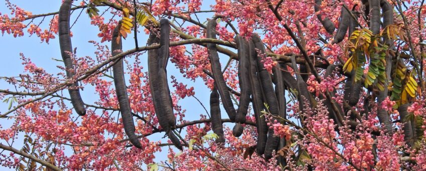 Cassia grandis flowers and pods (fruits) - pink shower