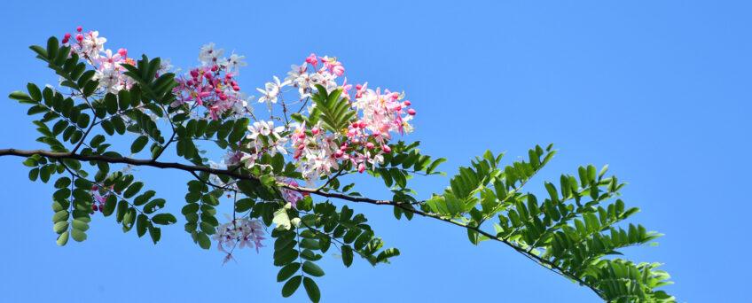 Cassia javanica - apple blossom cassia, pink lady, apple blossom shower, pink shower, java shower