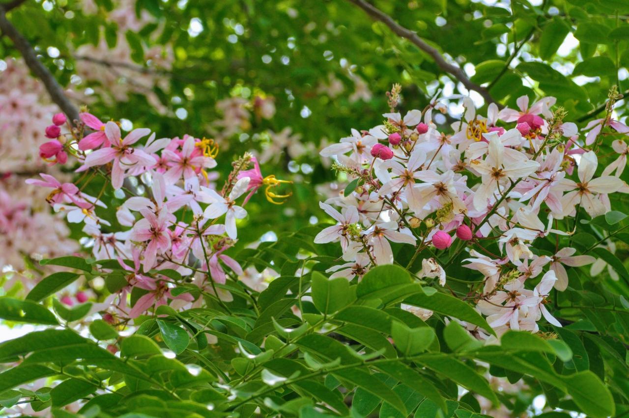 Cassia javanica flowers - apple blossom cassia, pink lady, apple blossom shower, pink shower, java shower.