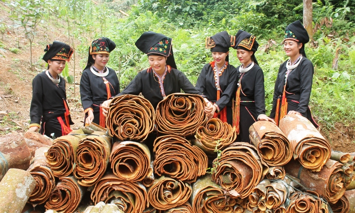 Cinnamomum cassia harvested by the Dao minority people