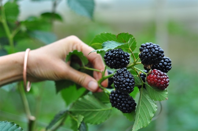 Cultivated blackberries - possibly Rubus inopertus