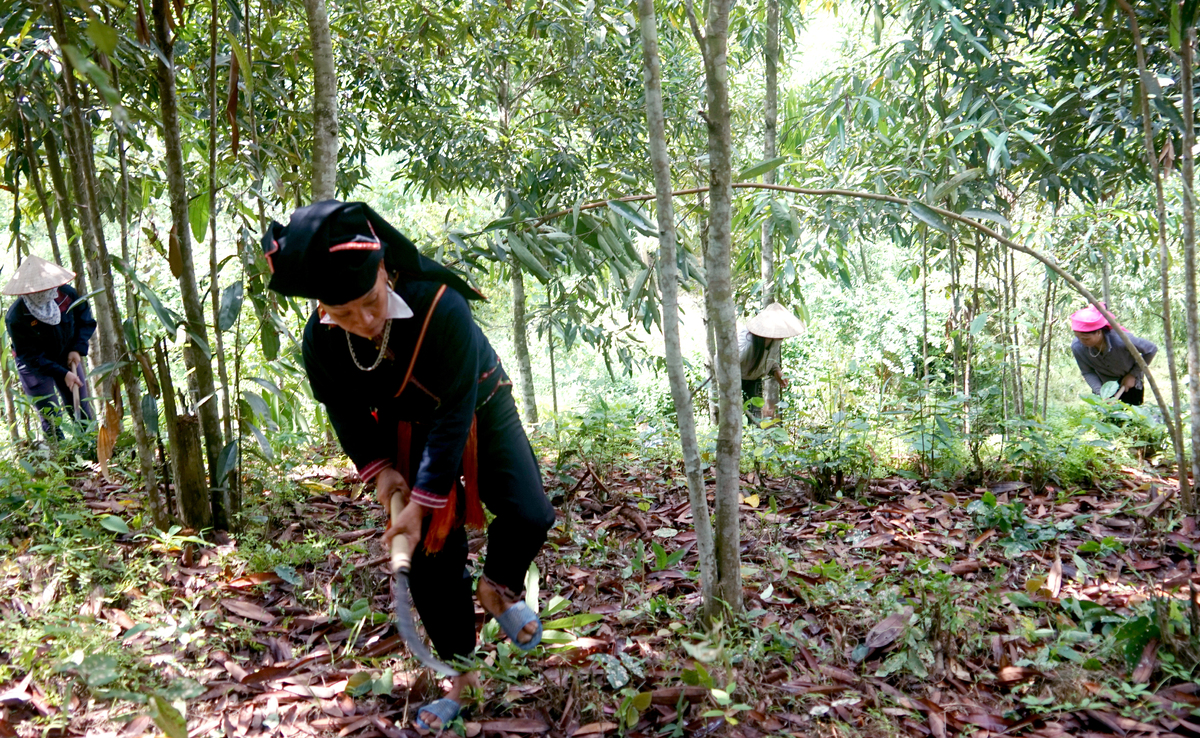 Cultivating cinnamon trees