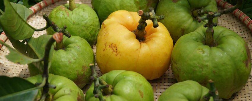 Garcinia cowa - the cowa mangosteen