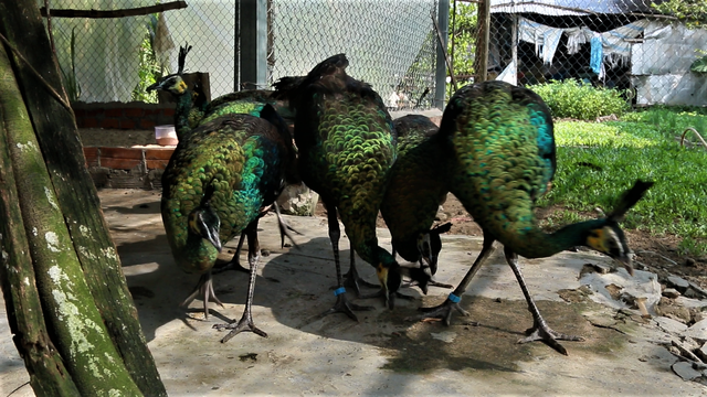 Green peafowls in a farm in Can Tho
