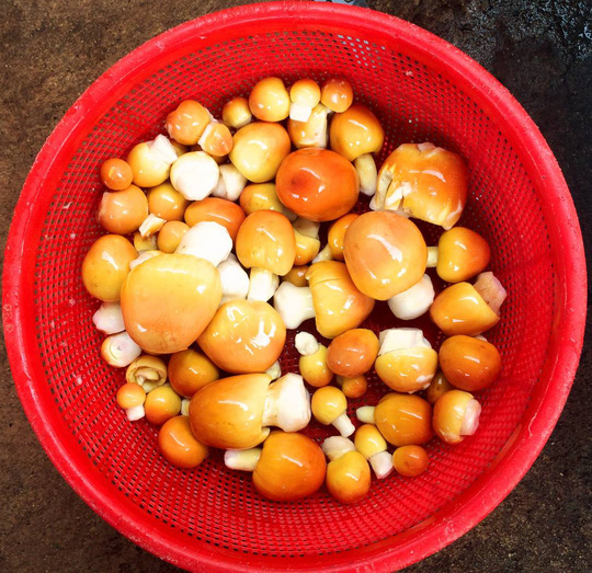 Harvested Caesar's mushrooms in Vietnam