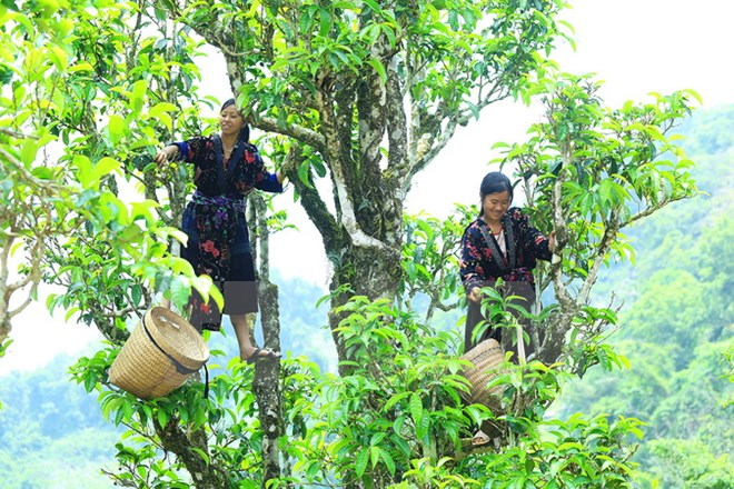 Harvesting Shan Tuyet tea leaves from tall tea plants Camellia sinensis var. Shan