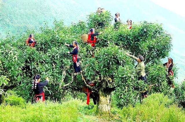 Harvesting Shan Tuyet tea leaves in Tay Con Linh, Ha Giang Camellia sinensis var. Shan