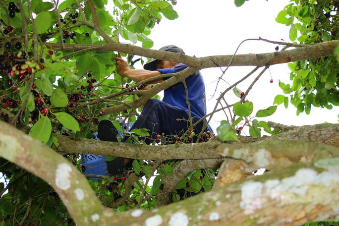 Harvesting black plums
