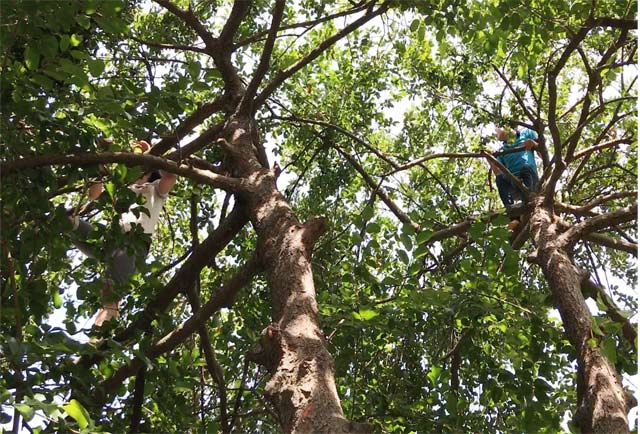 Harvesting monkey fruits in Quang Ngai province