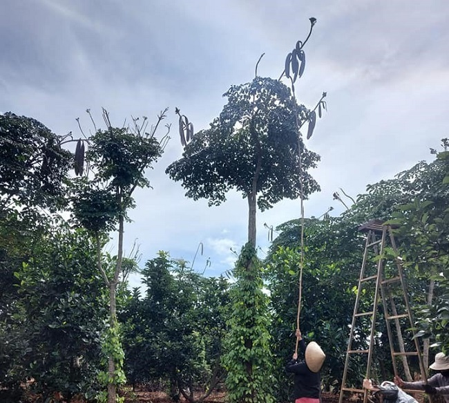 Harvesting oroxylum pods