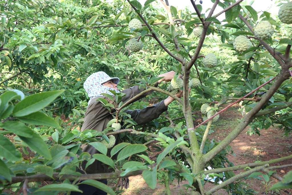 La Hien farmer with sugar-apple tree