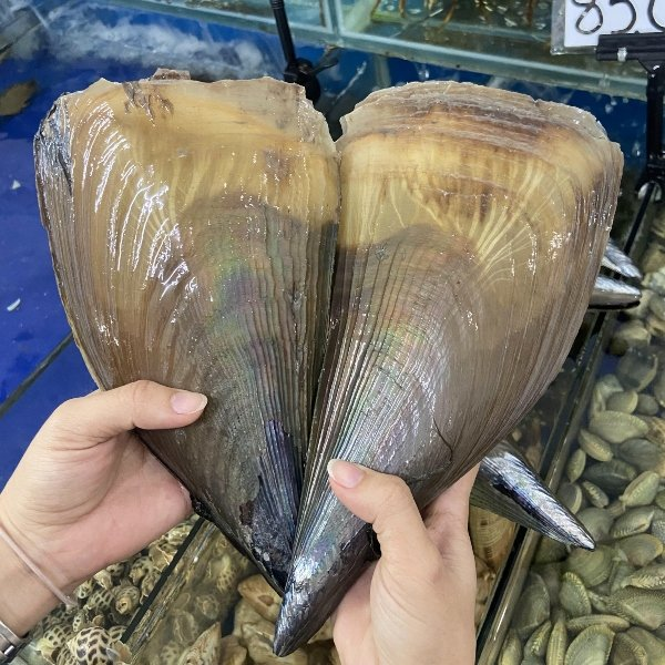 Large comb pen shells (Atrina pectinata)