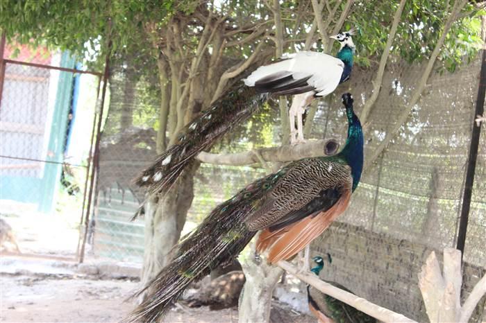 Multi-color peafowls