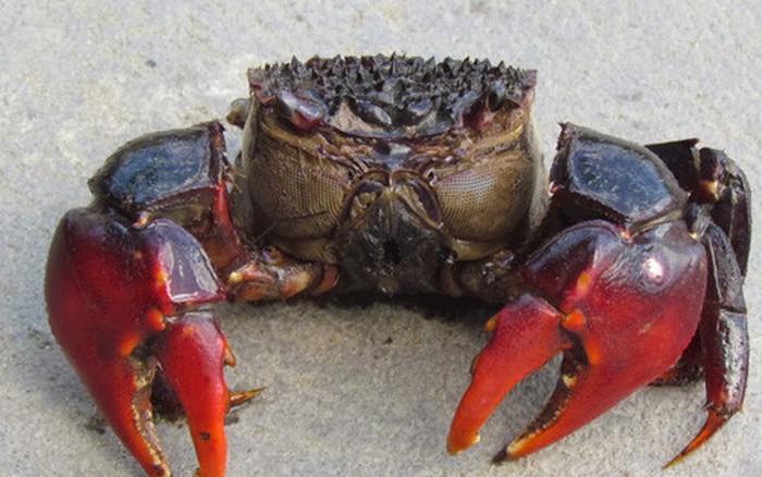 Neosarmatium smithi - the sad-faced crab