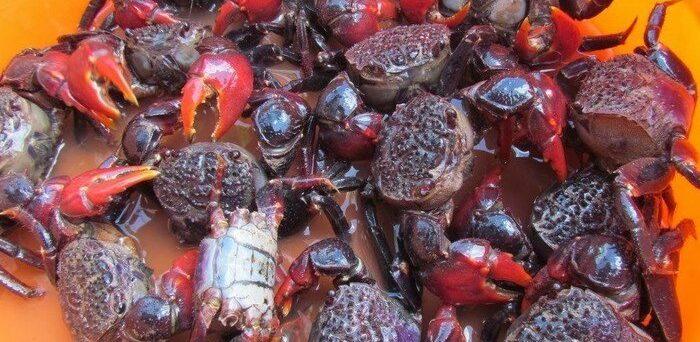 Neosarmatium smithi - the sad-faced crabs