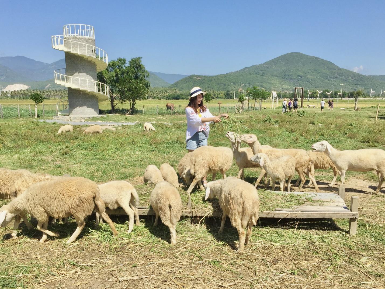 Ninh Thuan sheep