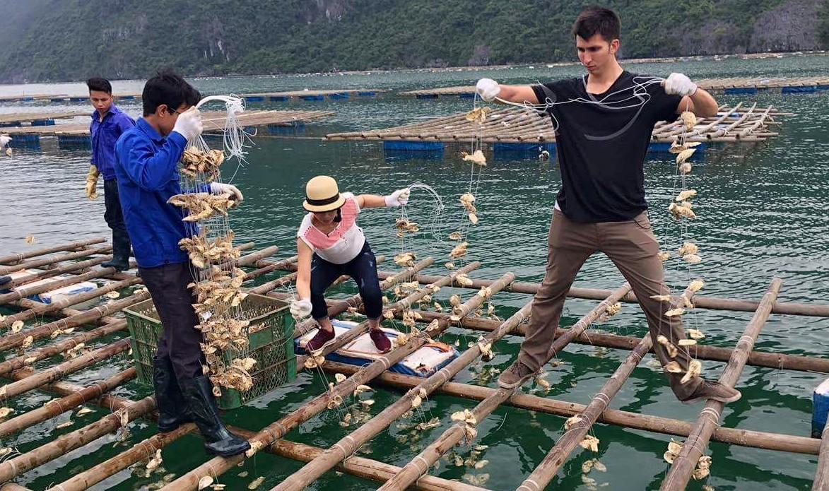 Oyster aquaculture in Van Don district Quang Ninh province